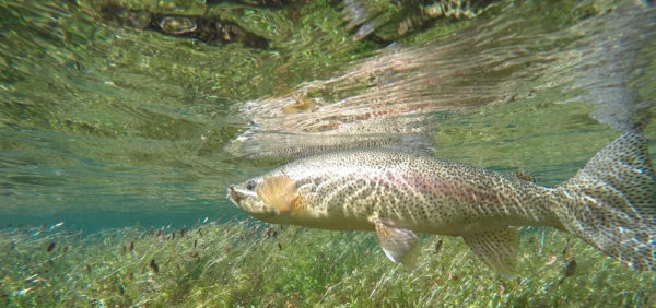 Rainbow Trout on the Fly